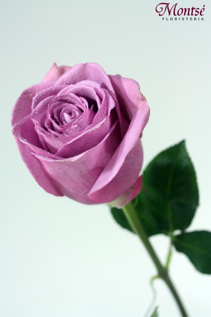 Significado De Las Rosas Moradas Mas Hermosas Del Mundo