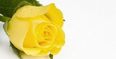 cual es el significado de las rosas amarillas