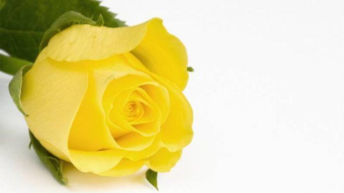 Significado de las rosas amarillas significado de las rosas - Significado rosas amarillas ...
