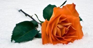 significado de las rosas anaranjadas