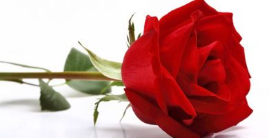 foto de rosa roja