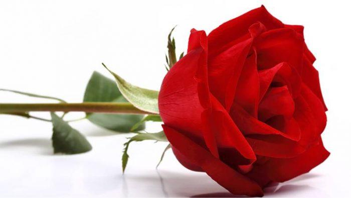 Significado De Las Rosas Rojas En La Vida El Amor Y Los Sueños
