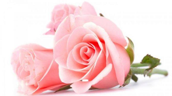 rosa rosa pastel