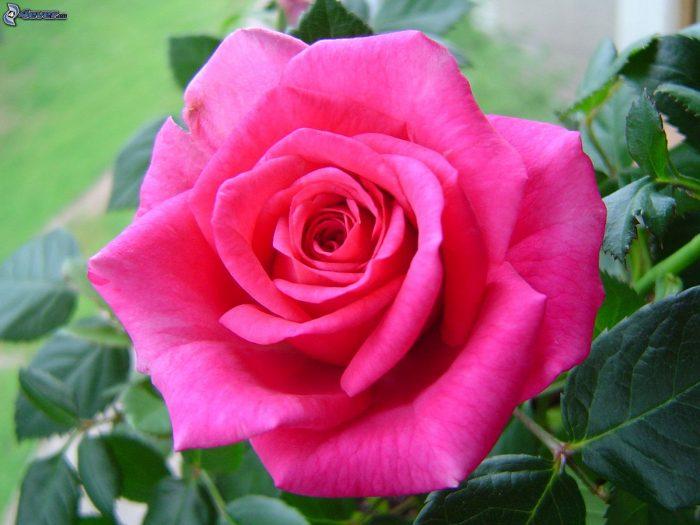 rosas fucsias naturales