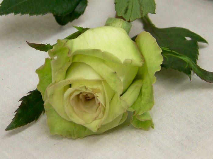 green roses images