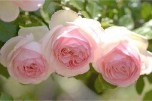 significado de tres rosas