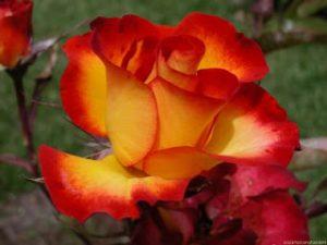 rosa con bordes rojos